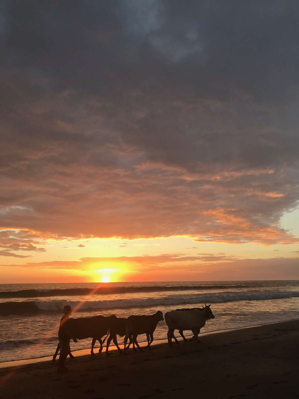 Cows on a beach.